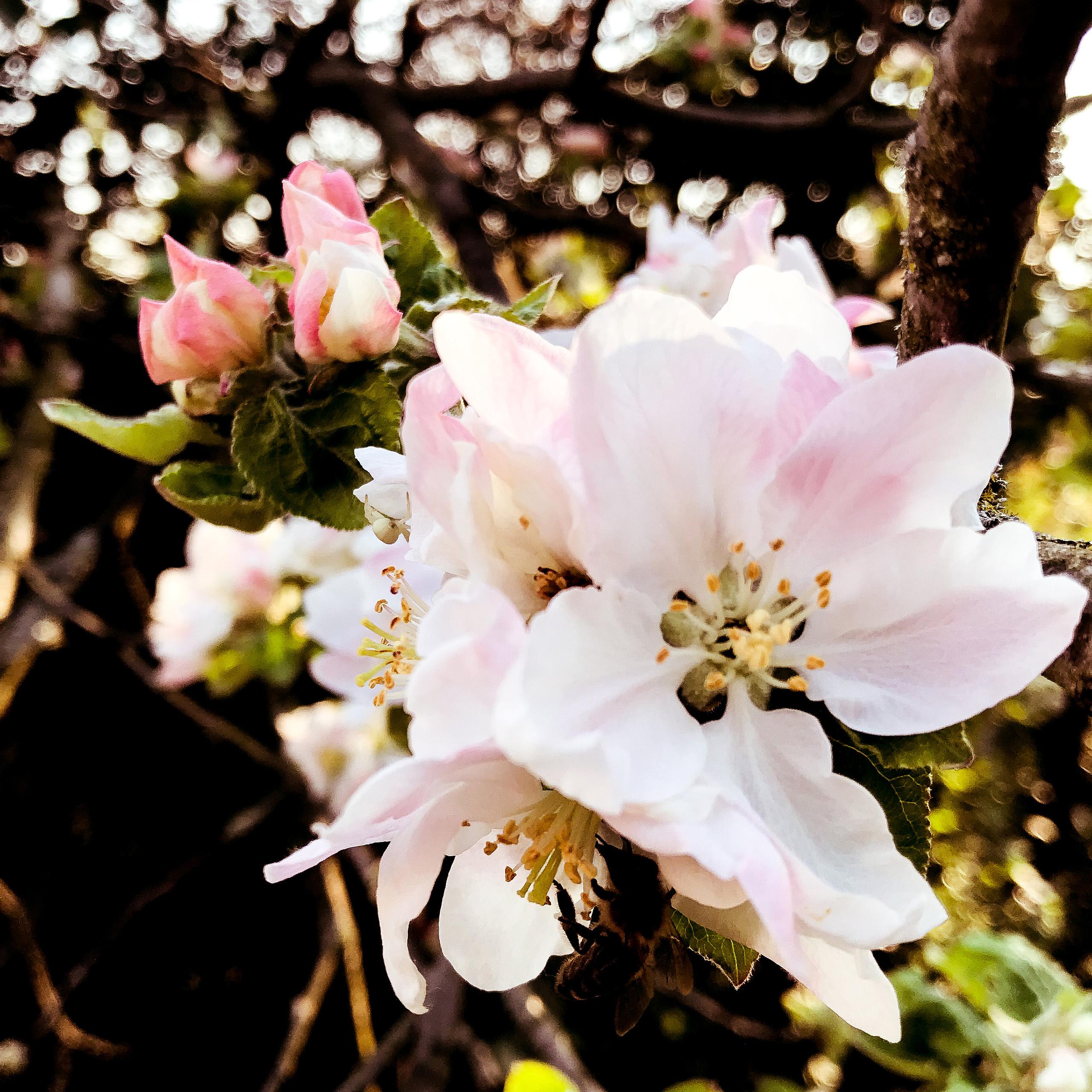 Apfelblüte. Bild: Florian Stocker